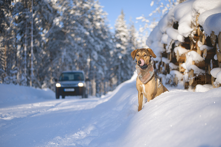 #TongueOutTuesday (06) | life in Sweden in winter | dog photography | www.DOGvision.eu