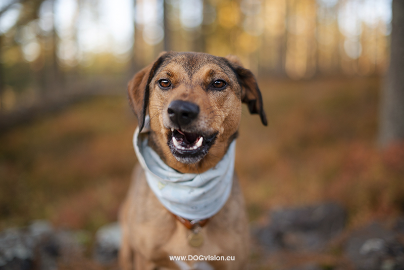 #TongueOutTuesday (42), Fenne Kustermans dog photography Sweden Dalarna. Hiking with dogs in Sweden. www.DOGvision.eu