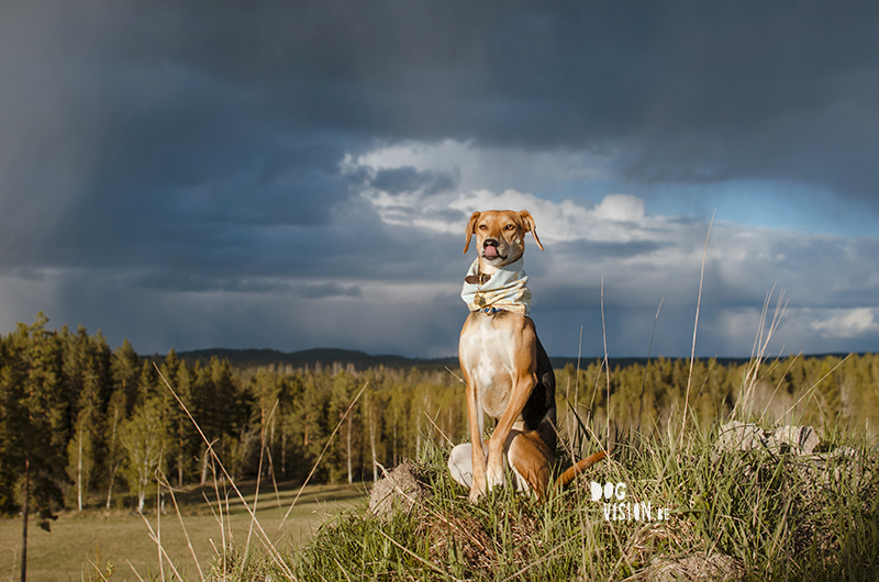 #TongueOutTuesday (21), Fenne Kustermans dog photographer, dog photography Sweden, Dalarna hiking with dogs, colorful creative dog photography, www.DOGvision.eu