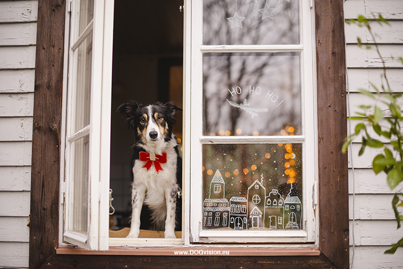 Christmas photoshoot ideas, window drawing, window illustration, Border Collie, www.DOGvision.eu