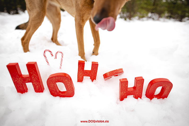 #TongueOutTuesday (52), Fenne Kustermans, dog photography Sweden, outdoor Christmas dog photo shoot, Creative colorful dog photography, Nordic lifestyle, hiking with dogs, www.DOGvision.eu