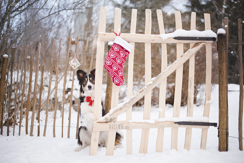 Dog photoshoot ideas snow Christmas, holiday stockings, Border Collie, www.DOGvision.eu