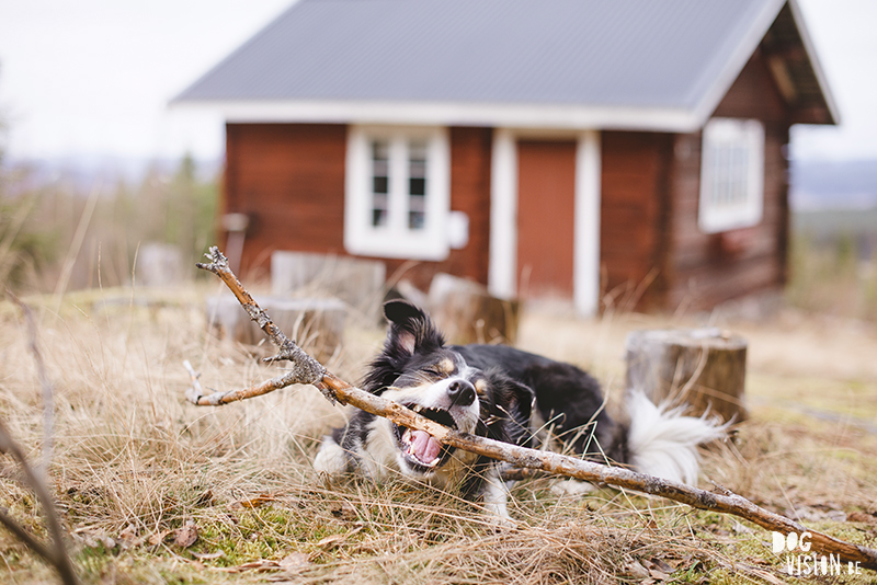 tongue-out-tuesday- dog photography DOGvision, hiking with dogs in Sweden, friluftsliv, www.DOGvision.eu