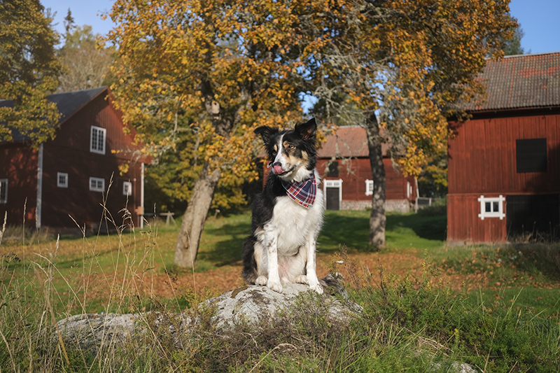 #TongueOutTuesday, dog photography Sweden, Border Collie, rescue dogs, hiking with dogs in Scandinavia, Nordic lifestyle, www.DOGvision.eu