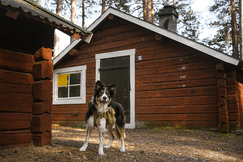 Small red cabin, Border Collie Mogwai, dogvision dog photography Europe SSmall red cabin, Border Collie Mogwai, adventure dogs, dog summer story, dogvision dog photography Europe Swedenweden
