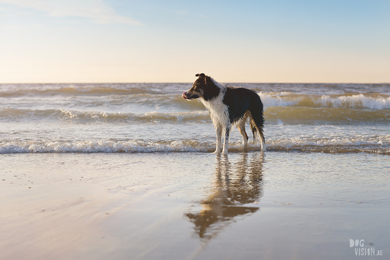 #TongueOutTuesday (26), dog photography challenge, border collie at the beach, dog photographer, Cadzand, www.DOGvision.eu