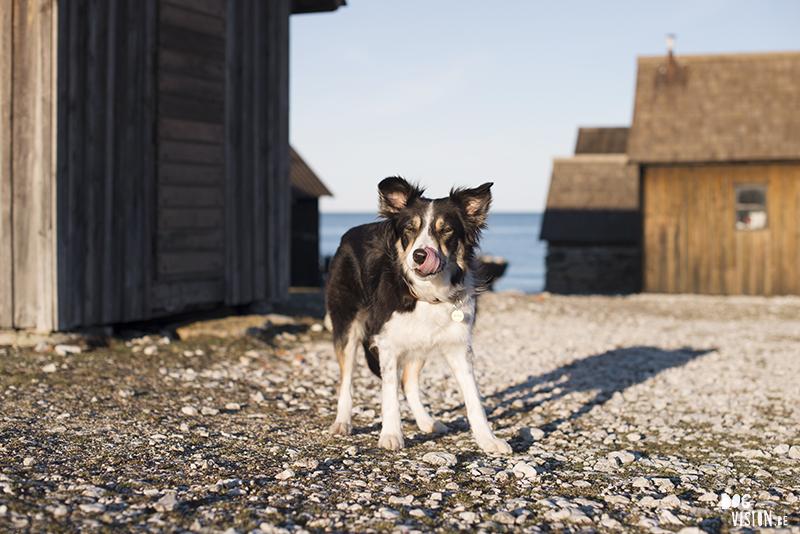 #TongueOutTuesday (09), weekly dog blog, dog photography Sweden, hundfotografi, Gotland, www.dogvision.eu